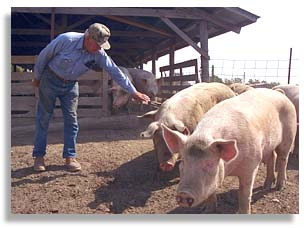 Family farmer Marion Storm with some of his hogs. Bosworth, Missouri. Photo by Nic Paget-Clarke.