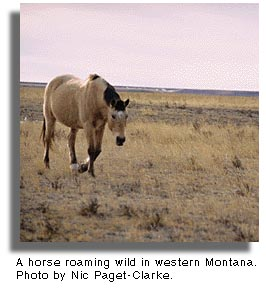 Horse roaming wild in Montana.. Photo by Nic Paget-Clarke.