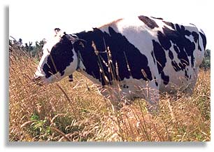 A dairy cow on Peter Dowling's farm on Howe Island, Ontario, Canada.