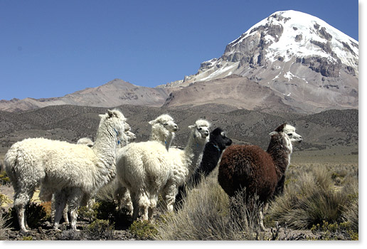 Alpacas and Mount Sajama on the Altiplano in the Oruro department, Bolivia. Photo by Nic Paget-Clarke.