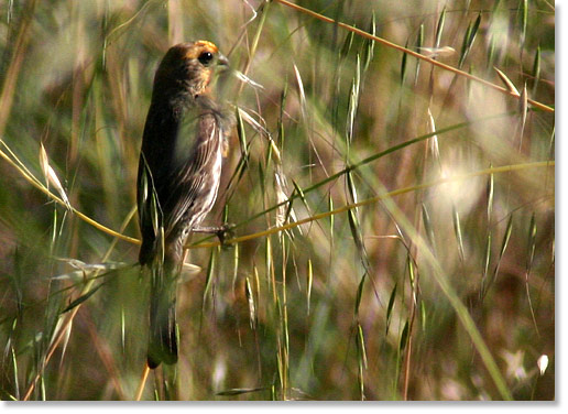 A house finch drifts in the grass. Rose Canyon, San Diego, California. Photo by Nic Paget-Clarke.