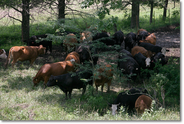 Cattle on the Allison/Perry farm near Armstrong, Missouri. Photo by Nic Paget-Clarke.