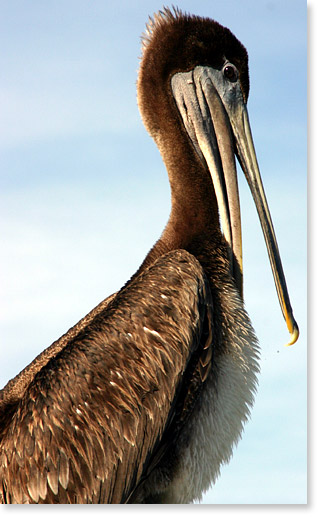 A pelican preening. Galveston, Texas. Photo by Nic Paget-Clarke.