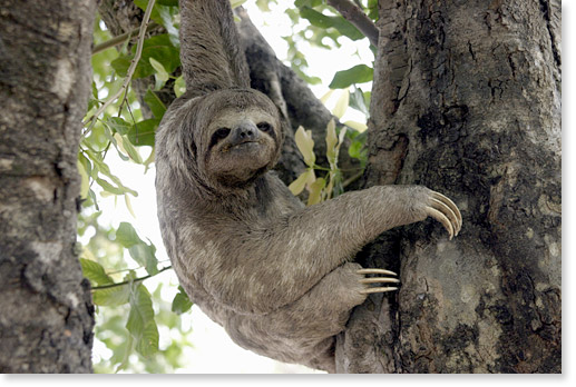 A three-toed sloth, in the Plaza 24 de Septiembre, Santa Cruz. Bolivia. Photo by Nic Paget-Clarke.