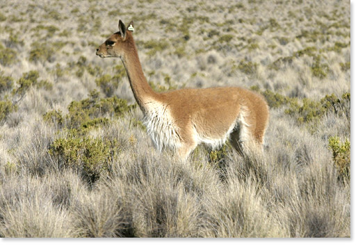 A vicuña in Sajama National Park, Oruro department. Bolivia. The vicuña is an endangered species. Photo by Nic Paget-Clarke.