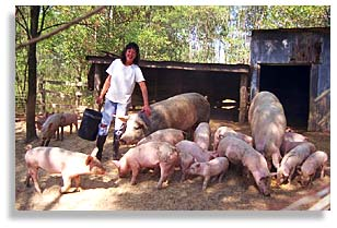 Rhonda Perry feeding hogs.